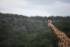 giraffe photograph-2